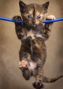 brown_cat_pull_ups