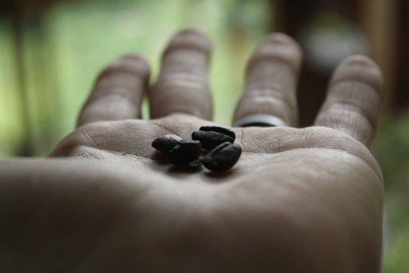 Roasted coffee bean in palm of hand