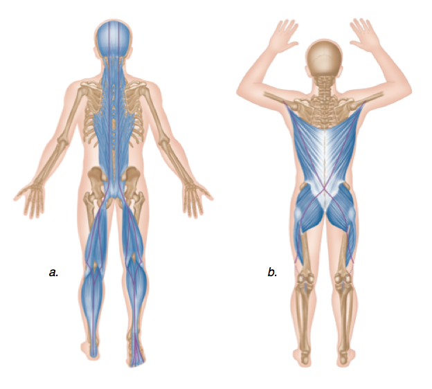 As you can see, much of our body is dependent on the posterior chain muscles.