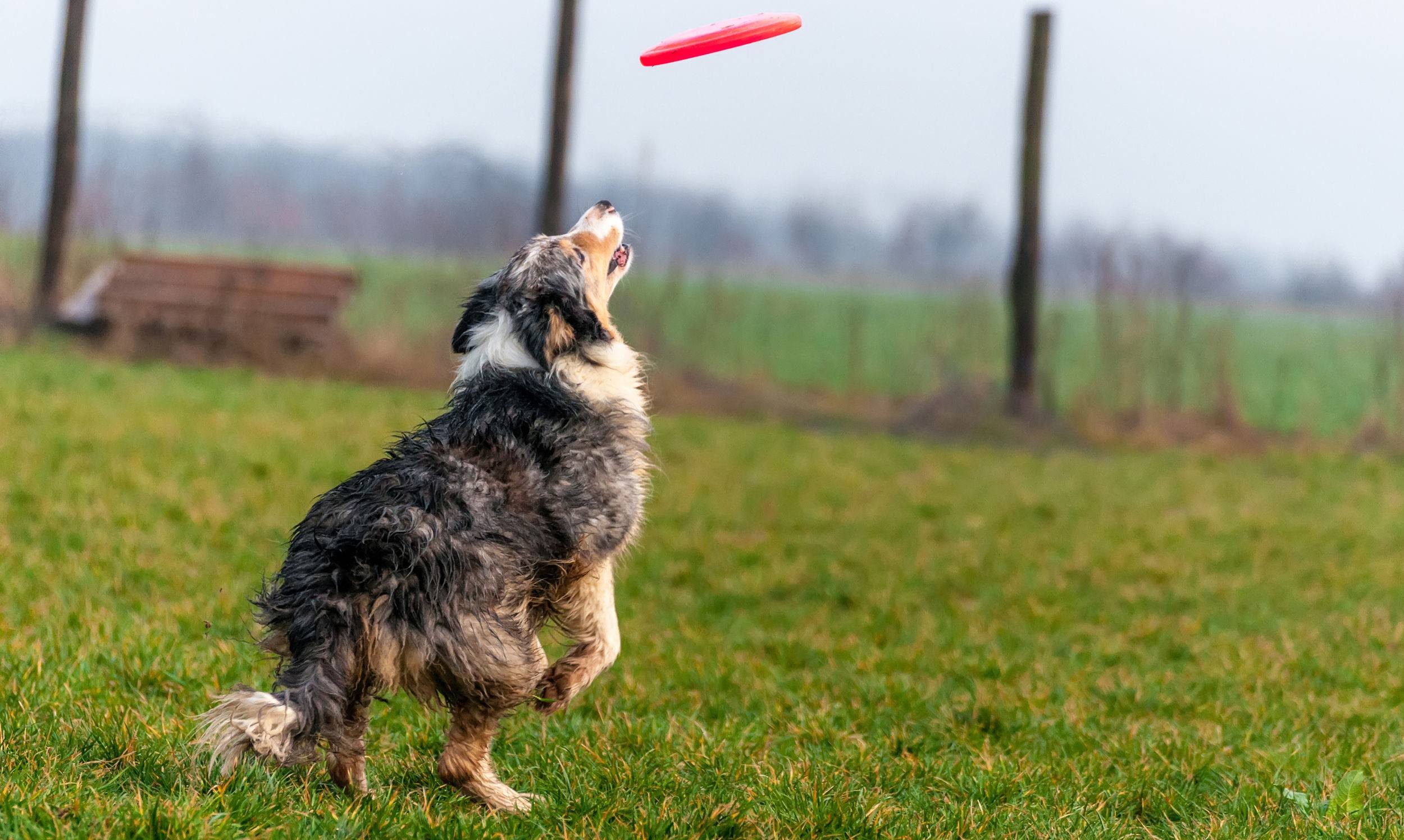 A border collie dog playing with a frisbee