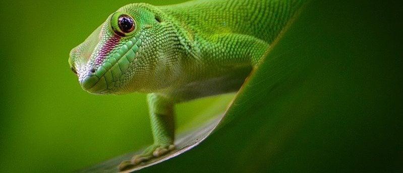 A gecko doing a push-up